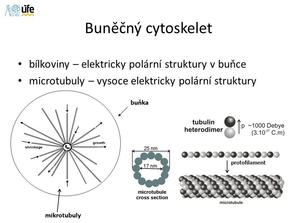 Buněčný cytoskelet bílkoviny – elektricky polární struktury v buňce microtubuly – vysoce elektricky polární struktury mikrotubuly protofilament buňka