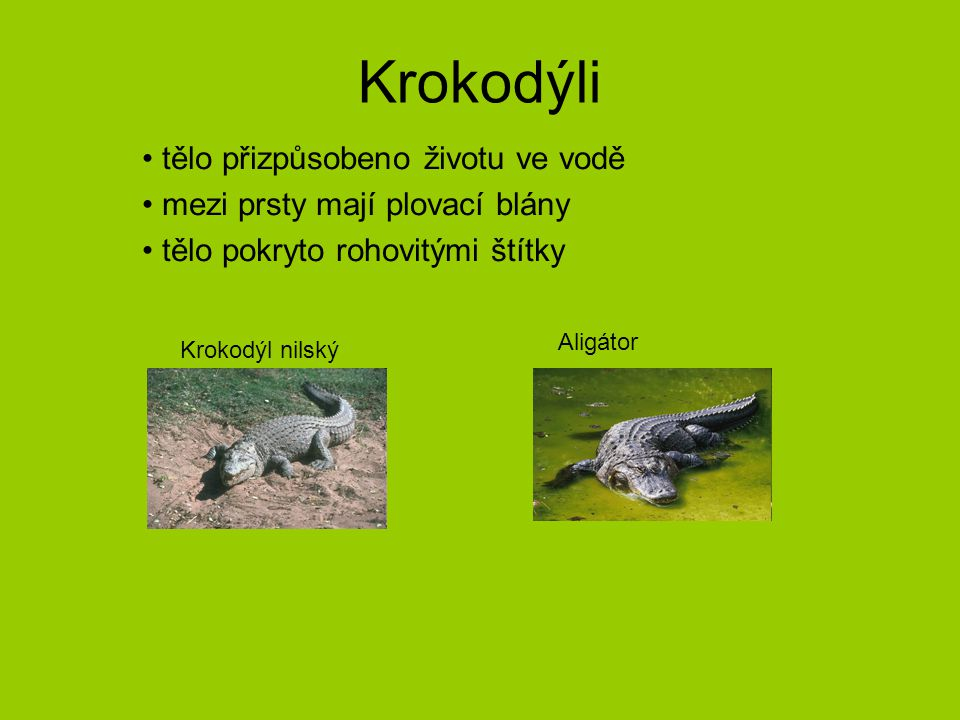 Krokodýli tělo přizpůsobeno životu ve vodě mezi prsty mají plovací blány tělo pokryto rohovitými štítky Krokodýl nilský Aligátor
