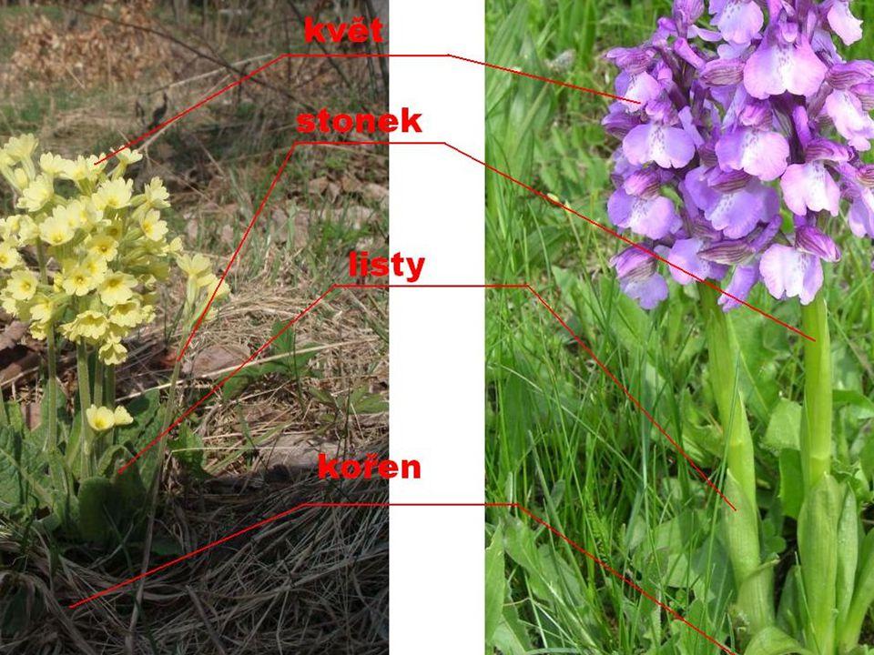 Kořeny dvouděložných rostlindvouděložných ZpětZpět - kořeny hlavní kořen s kořeny postranními