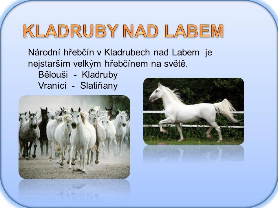 Národní hřebčín v Kladrubech nad Labem je nejstarším velkým hřebčínem na světě. Bělouši - Kladruby Vraníci - Slatiňany