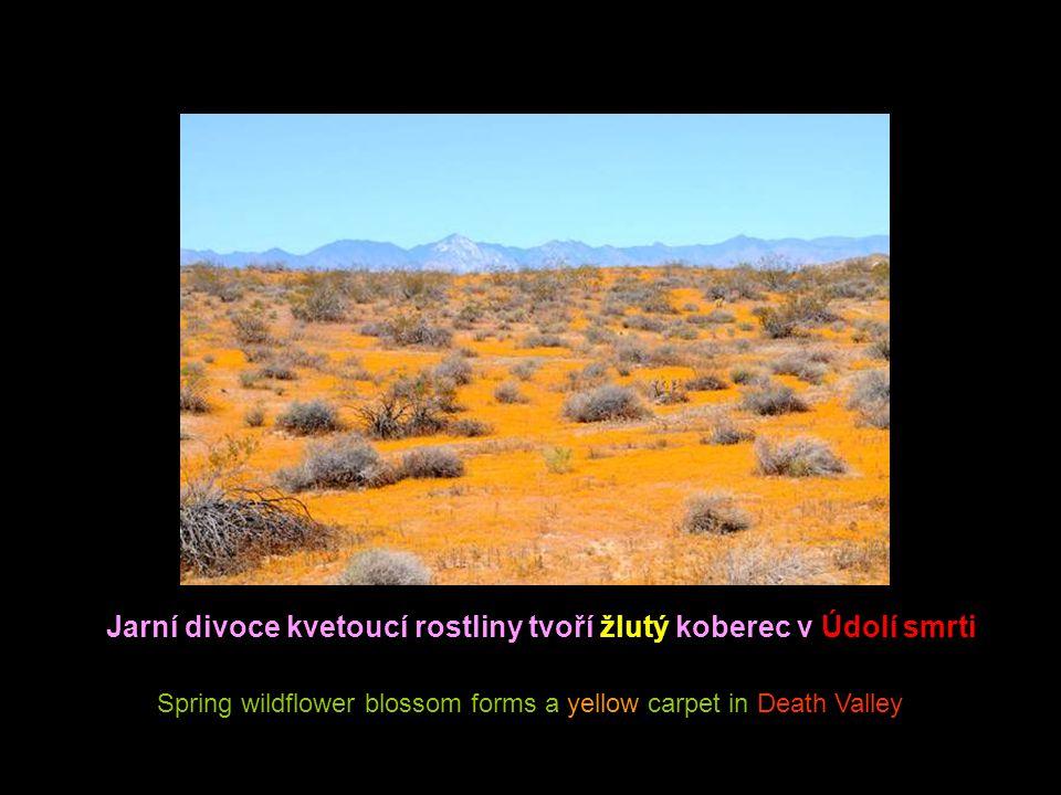 Cactus flowers are beautiful close up But watch out for those spines Kaktusové květy těsně na vrcholu jsou překrásné, ale vyvarujte se těchto ostnů