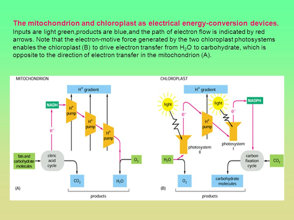 The mitochondrion and chloroplast as electrical energy-conversion devices. Inputs are light green,products are blue,and the path of electron flow is i