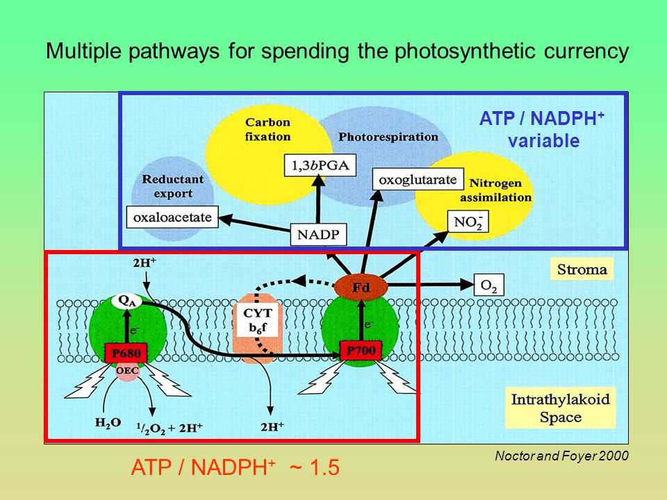Noctor and Foyer 2000 Multiple pathways for spending the photosynthetic currency ATP / NADPH + ~ 1.5 ATP / NADPH + variable