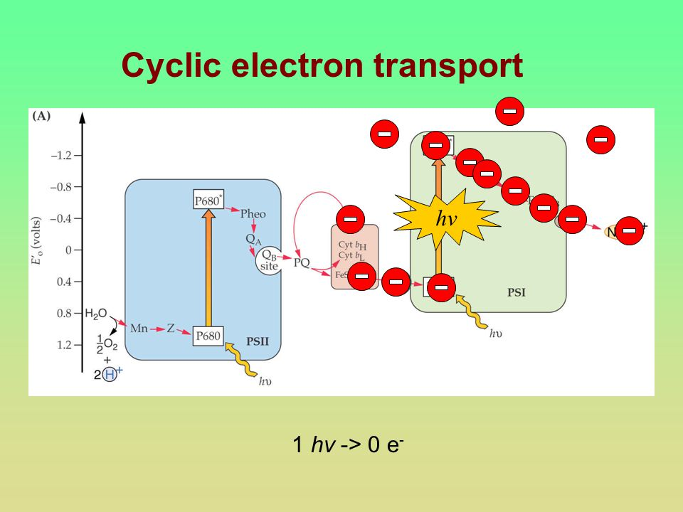 Cyclic electron transport hv 1 hv -> 0 e -