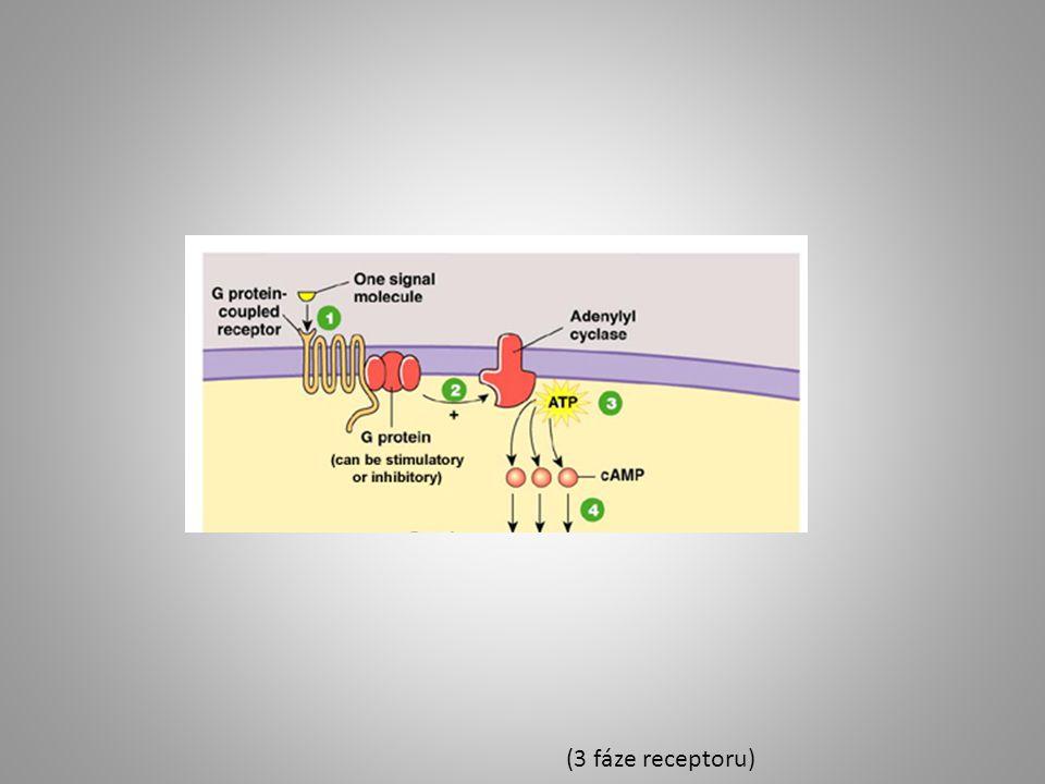 (3 fáze receptoru)