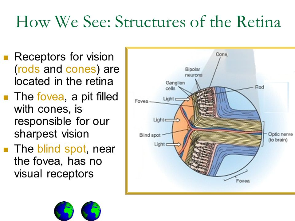 How We See: Structures of the Retina Receptors for vision (rods and cones) are located in the retina The fovea, a pit filled with cones, is responsible for our sharpest vision The blind spot, near the fovea, has no visual receptors