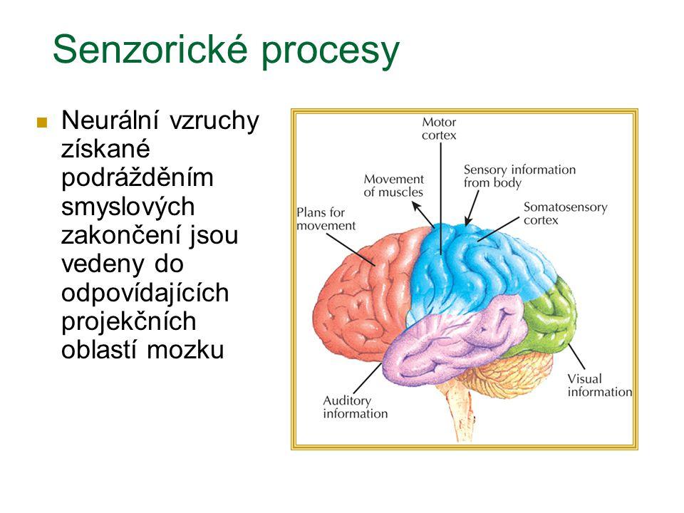 Neurální vzruchy získané podrážděním smyslových zakončení jsou vedeny do odpovídajících projekčních oblastí mozku Senzorické procesy