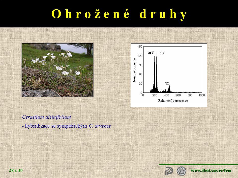 www.ibot.cas.cz/fcm 28 z 40 O h r o ž e n é d r u h y Cerastium alsinifolium - hybridizace se sympatrickým C.