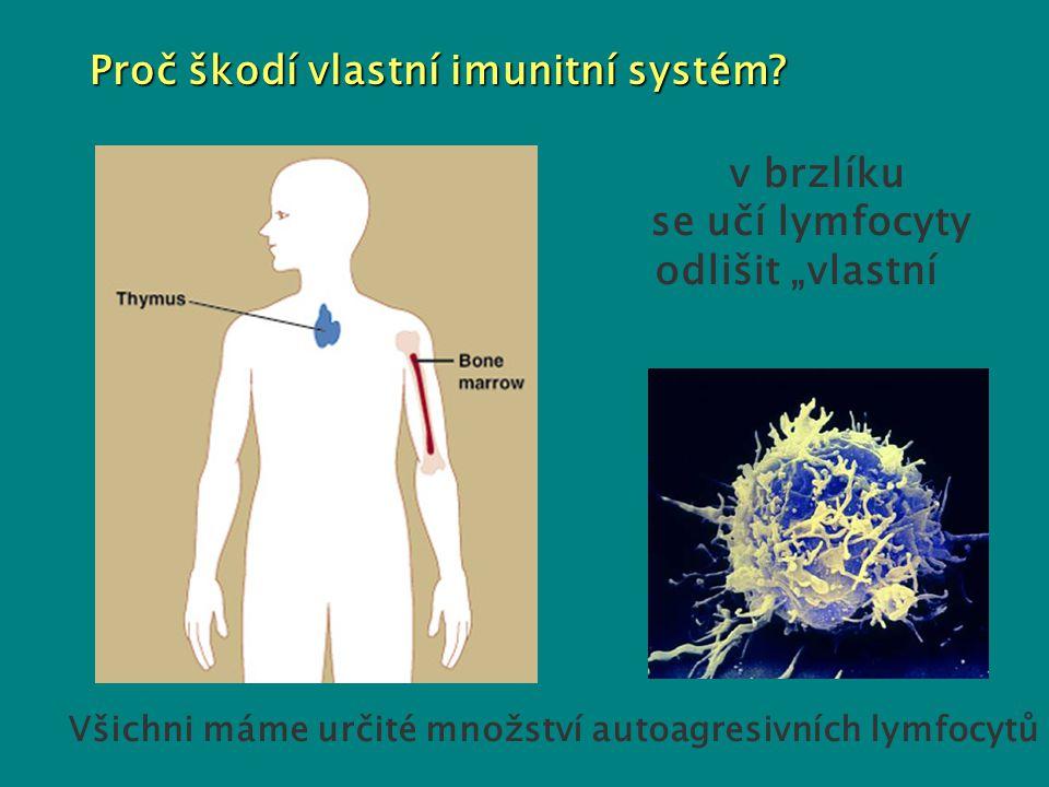 """Proč škodí vlastní imunitní systém? - v brzlíku se učí lymfocyty odlišit """"vlastní"""" od """"cizího"""" - Všichni máme určité množství autoagresivních lymfocyt"""