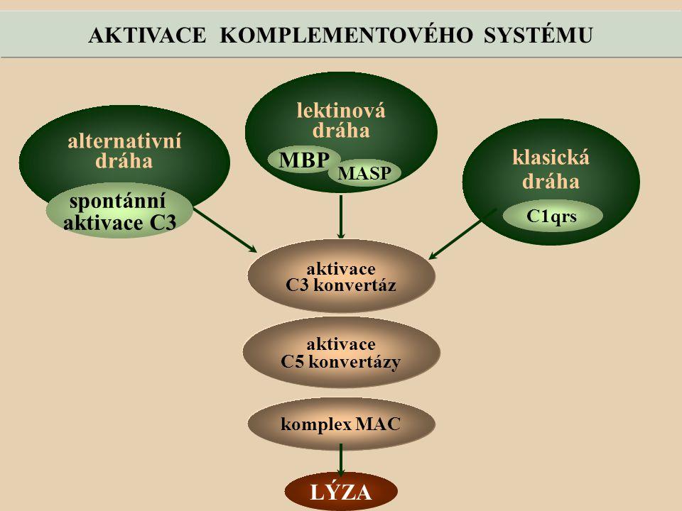 AKTIVACE KOMPLEMENTOVÉHO SYSTÉMU alternativní dráha lektinová dráha klasická dráha MASP komplex MAC LÝZA aktivace C3 konvertáz aktivace C5 konvertázy spontánní aktivace C3 MBP C1qrs