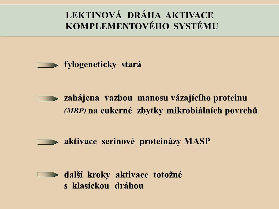 LEKTINOVÁ DRÁHA AKTIVACE KOMPLEMENTOVÉHO SYSTÉMU fylogeneticky stará zahájena vazbou manosu vázajícího proteinu (MBP) na cukerné zbytky mikrobiálních povrchů aktivace serinové proteinázy MASP další kroky aktivace totožné s klasickou dráhou