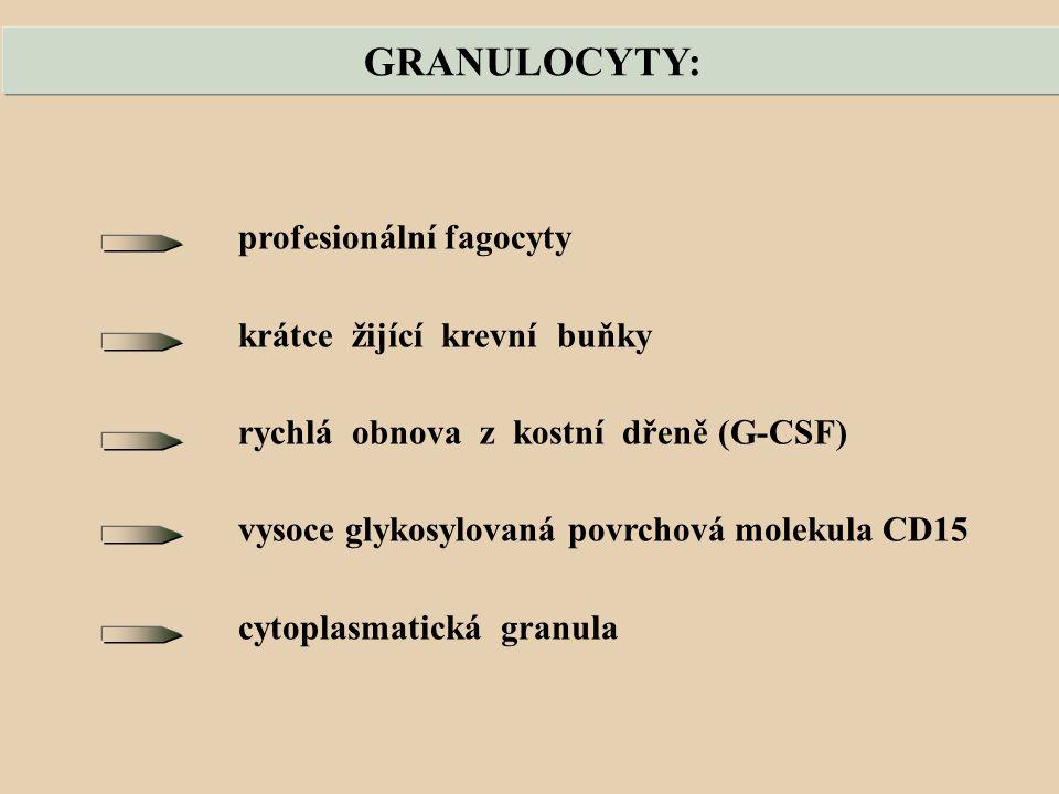 GRANULOCYTY: profesionální fagocyty krátce žijící krevní buňky rychlá obnova z kostní dřeně (G-CSF) vysoce glykosylovaná povrchová molekula CD15 cytoplasmatická granula