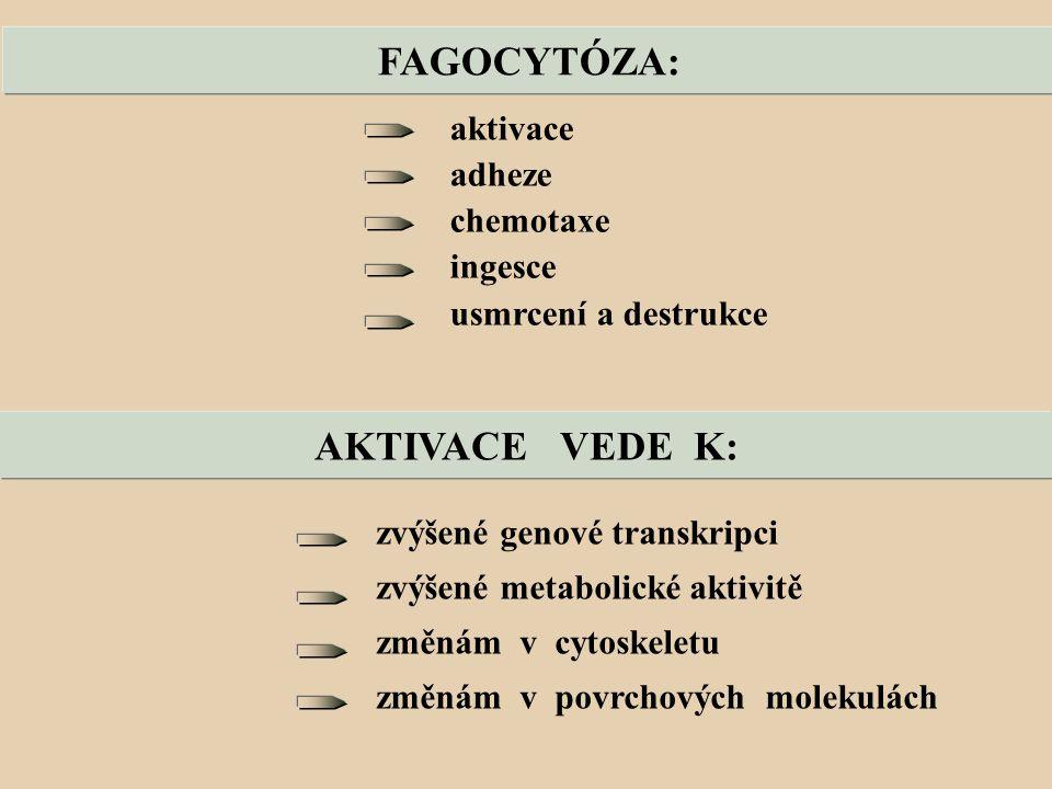FAGOCYTÓZA: aktivace adheze chemotaxe ingesce usmrcení a destrukce AKTIVACE VEDE K: zvýšené genové transkripci zvýšené metabolické aktivitě změnám v cytoskeletu změnám v povrchových molekulách