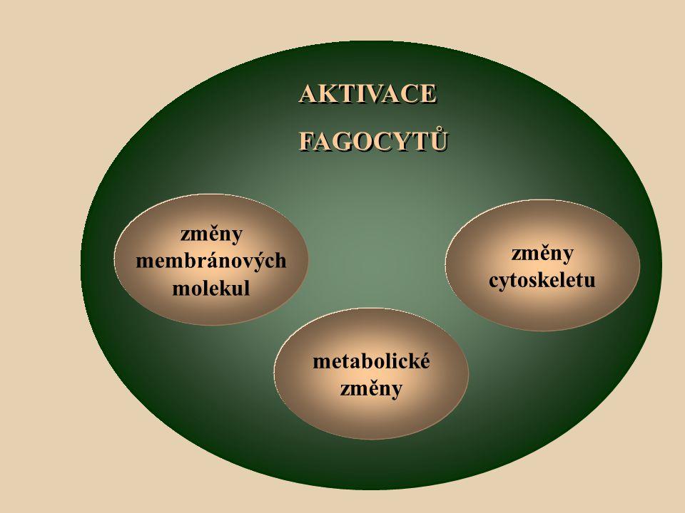 AKTIVACE FAGOCYTŮ AKTIVACE FAGOCYTŮ metabolické změny membránových molekul změny cytoskeletu