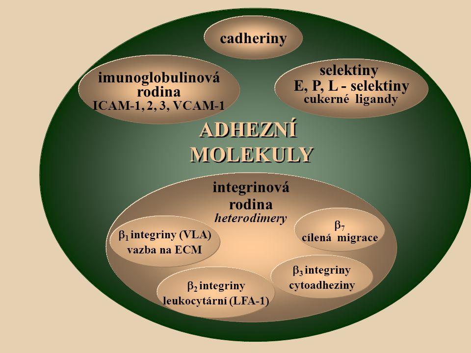 ADHEZNÍ MOLEKULY cadheriny selektiny E, P, L - selektiny cukerné ligandy imunoglobulinová rodina ICAM-1, 2, 3, VCAM-1 integrinová rodina heterodimery  1 integriny (VLA) vazba na ECM  2 integriny leukocytární (LFA-1)  3 integriny cytoadheziny  7 cílená migrace