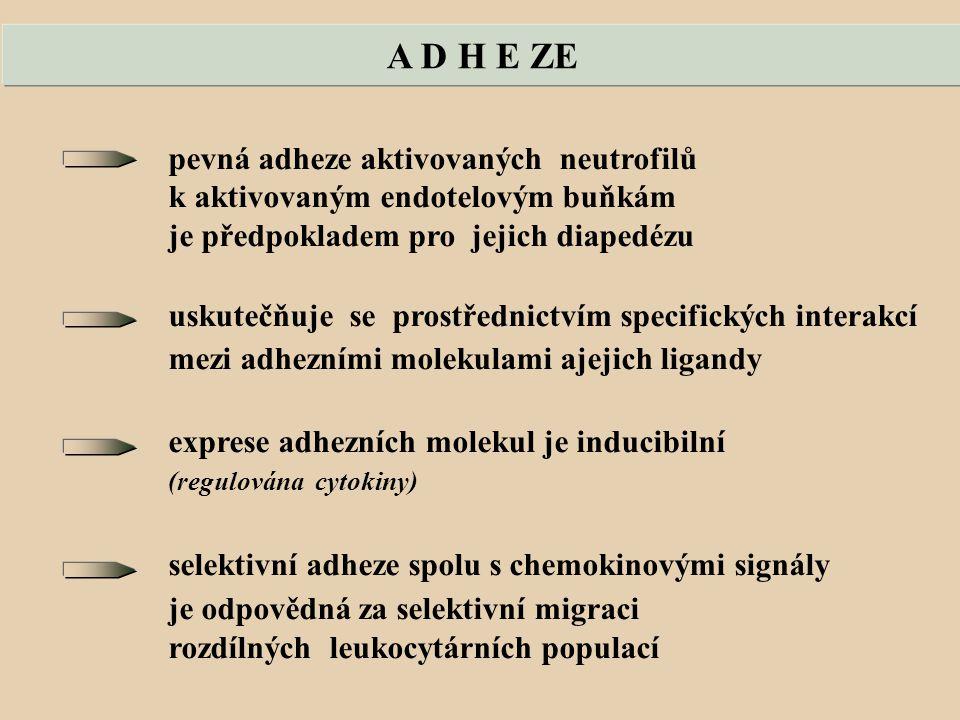 A D H E ZE pevná adheze aktivovaných neutrofilů k aktivovaným endotelovým buňkám je předpokladem pro jejich diapedézu uskutečňuje se prostřednictvím specifických interakcí mezi adhezními molekulami ajejich ligandy exprese adhezních molekul je inducibilní (regulována cytokiny) selektivní adheze spolu s chemokinovými signály je odpovědná za selektivní migraci rozdílných leukocytárních populací