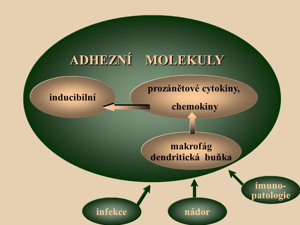 ADHEZNÍ MOLEKULY inducibilní prozánětové cytokiny, chemokiny makrofág dendritická buňka infekcenádor imuno- patologie