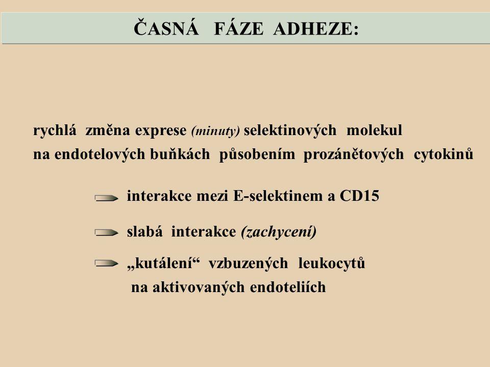 """ČASNÁ FÁZE ADHEZE: rychlá změna exprese (minuty) selektinových molekul na endotelových buňkách působením prozánětových cytokinů interakce mezi E-selektinem a CD15 slabá interakce (zachycení) """"kutálení vzbuzených leukocytů na aktivovaných endoteliích"""