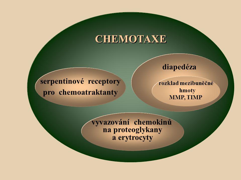 CHEMOTAXE serpentinové receptory pro chemoatraktanty diapedéza rozklad mezibuněčné hmoty MMP, TIMP vyvazování chemokinů na proteoglykany a erytrocyty