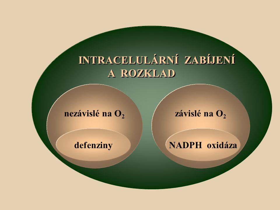 INTRACELULÁRNÍ ZABÍJENÍ A ROZKLAD INTRACELULÁRNÍ ZABÍJENÍ A ROZKLAD nezávislé na O 2 defenziny závislé na O 2 NADPH oxidáza