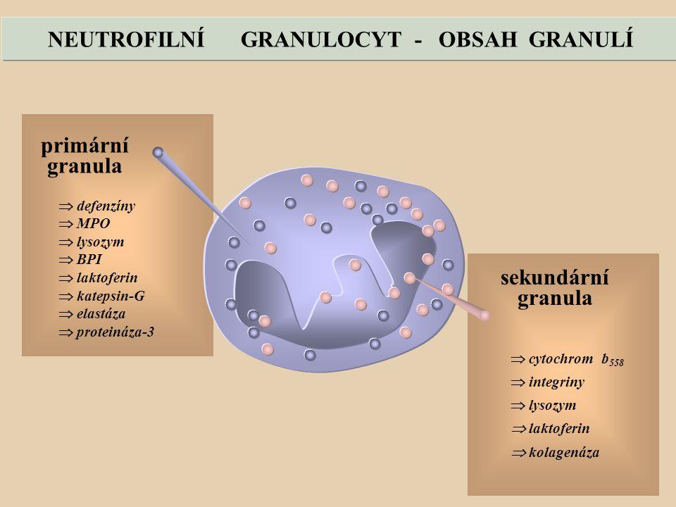 NEUTROFILNÍ GRANULOCYT - OBSAH GRANULÍ  cytochrom b 558  integriny  lysozym  laktoferin  kolagenáza sekundární granula  defenzíny  MPO  lysozym  BPI  laktoferin  katepsin-G  elastáza  proteináza-3 primární granula