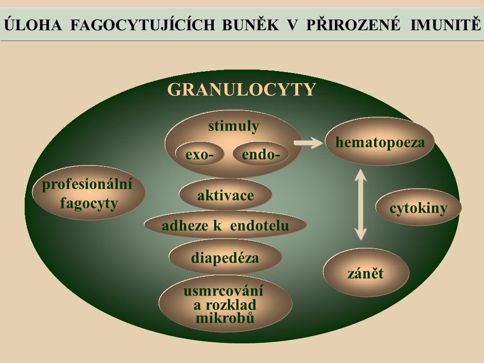 GRANULOCYTY profesionální fagocyty adheze k endotelu aktivace stimuly exo-endo- diapedéza usmrcování a rozklad mikrobů zánět ÚLOHA FAGOCYTUJÍCÍCH BUNĚK V PŘIROZENÉ IMUNITĚ hematopoeza cytokiny