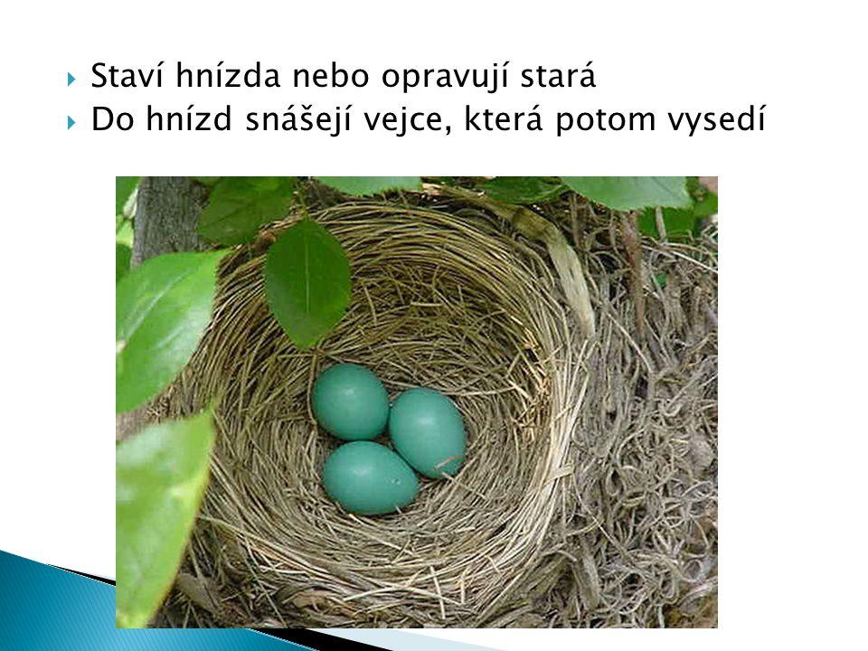  Staví hnízda nebo opravují stará  Do hnízd snášejí vejce, která potom vysedí