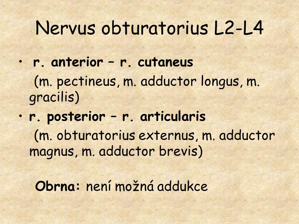 Nervus obturatorius L2-L4 r. anterior – r. cutaneus (m. pectineus, m. adductor longus, m. gracilis) r. posterior – r. articularis (m. obturatorius ext
