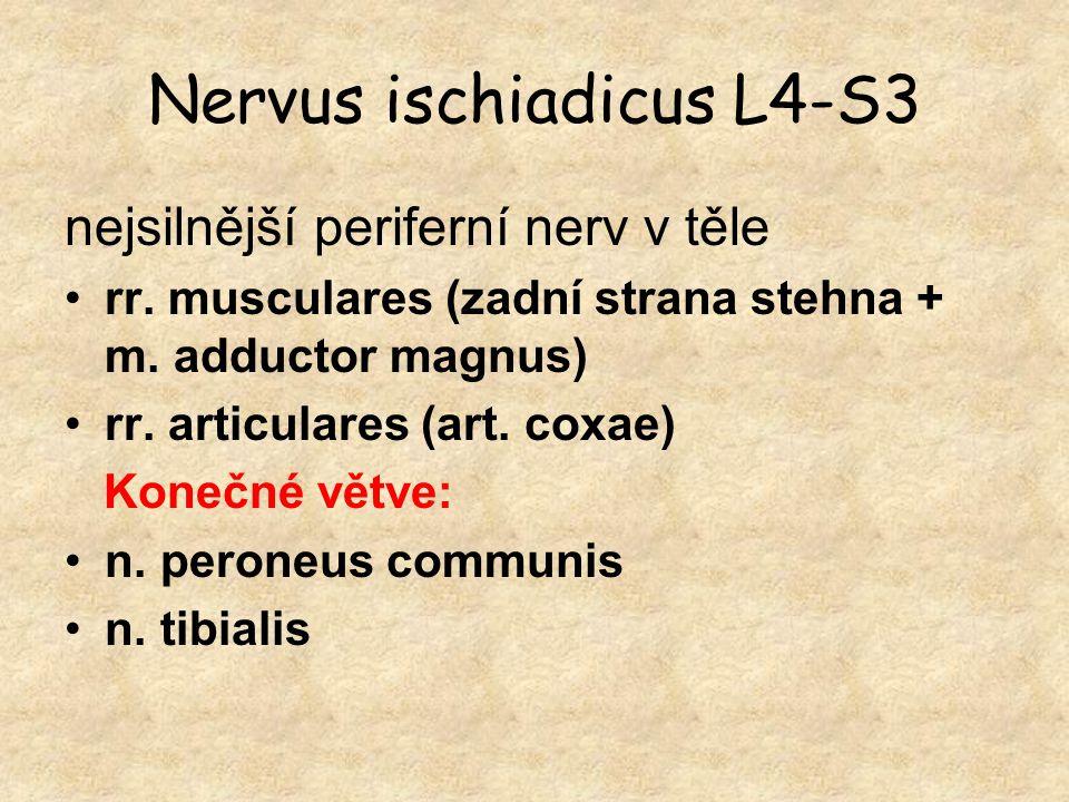 Nervus ischiadicus L4-S3 nejsilnější periferní nerv v těle rr. musculares (zadní strana stehna + m. adductor magnus) rr. articulares (art. coxae) Kone