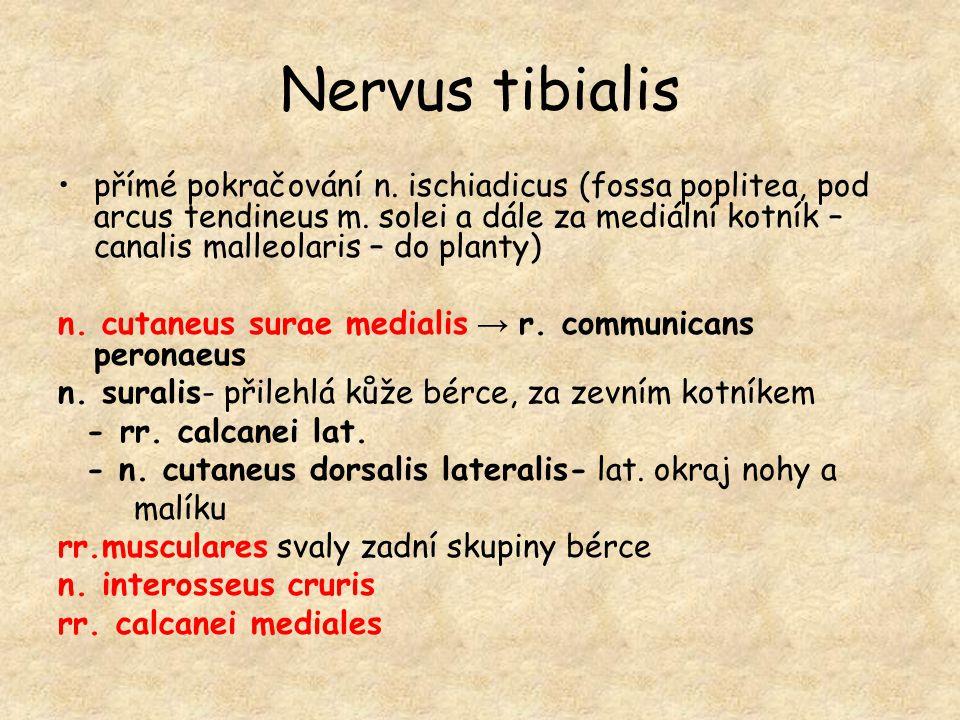 Nervus tibialis přímé pokračování n. ischiadicus (fossa poplitea, pod arcus tendineus m. solei a dále za mediální kotník – canalis malleolaris – do pl