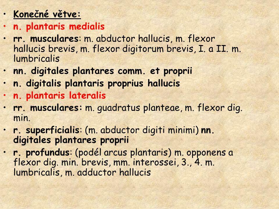 Konečné větve: n. plantaris medialis rr. musculares: m. abductor hallucis, m. flexor hallucis brevis, m. flexor digitorum brevis, I. a II. m. lumbrica