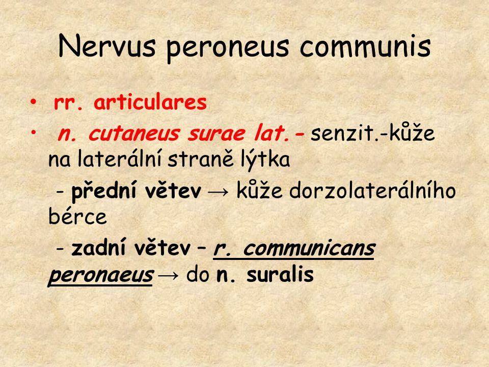 Nervus peroneus communis rr. articulares n. cutaneus surae lat.- senzit.-kůže na laterální straně lýtka - přední větev → kůže dorzolaterálního bérce -