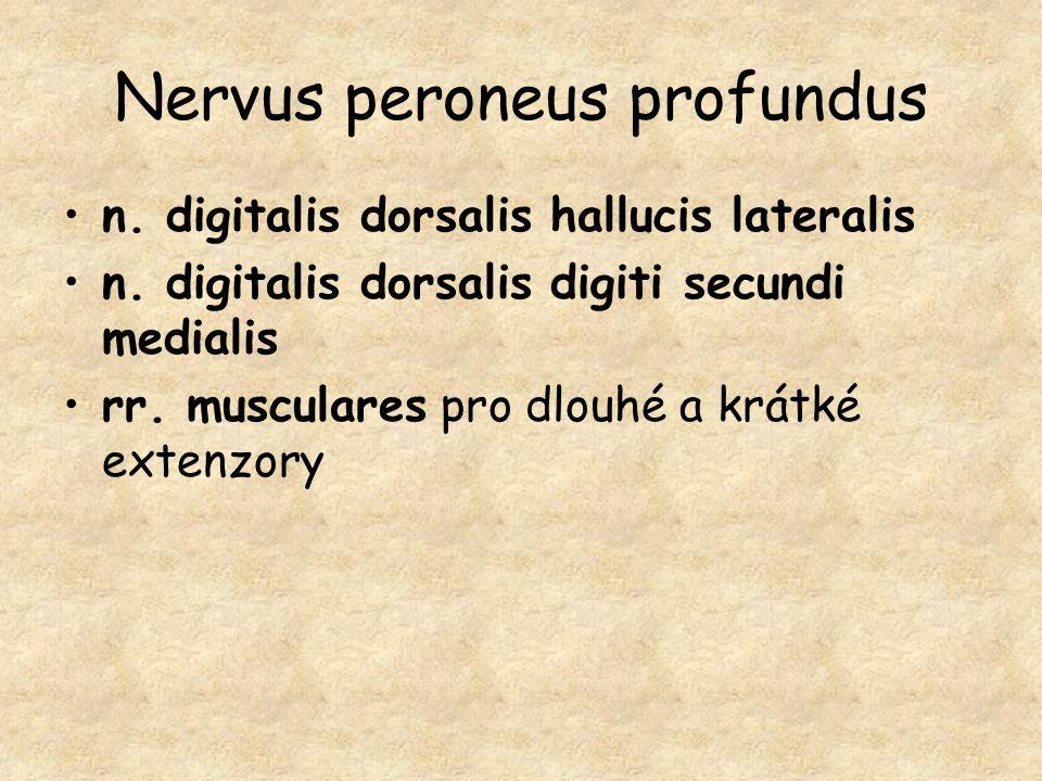 Nervus peroneus profundus n. digitalis dorsalis hallucis lateralis n. digitalis dorsalis digiti secundi medialis rr. musculares pro dlouhé a krátké ex