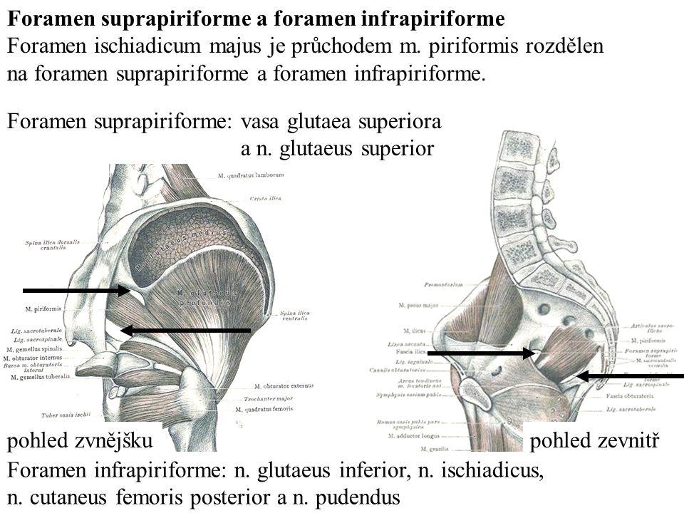 Foramen suprapiriforme a foramen infrapiriforme Foramen ischiadicum majus je průchodem m.