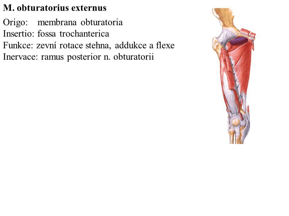 Origo: membrana obturatoria Insertio: fossa trochanterica Funkce: zevní rotace stehna, addukce a flexe Inervace: ramus posterior n.