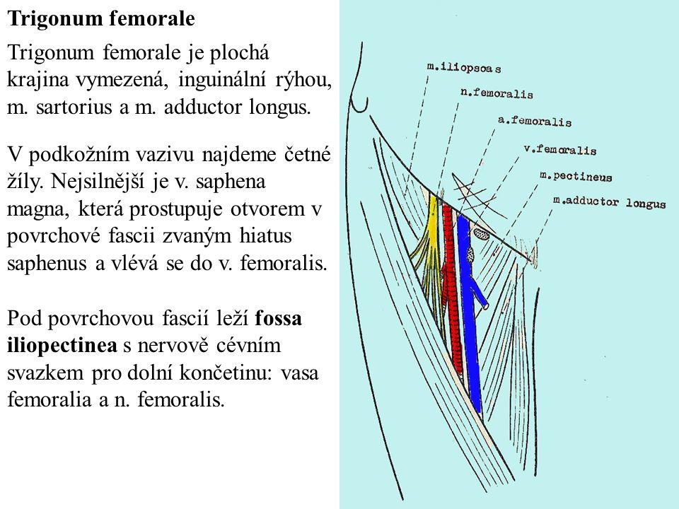 Trigonum femorale Trigonum femorale je plochá krajina vymezená, inguinální rýhou, m.