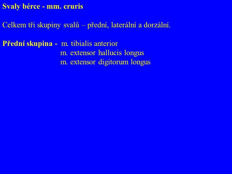 Svaly bérce - mm.cruris Celkem tři skupiny svalů – přední, laterální a dorzální.