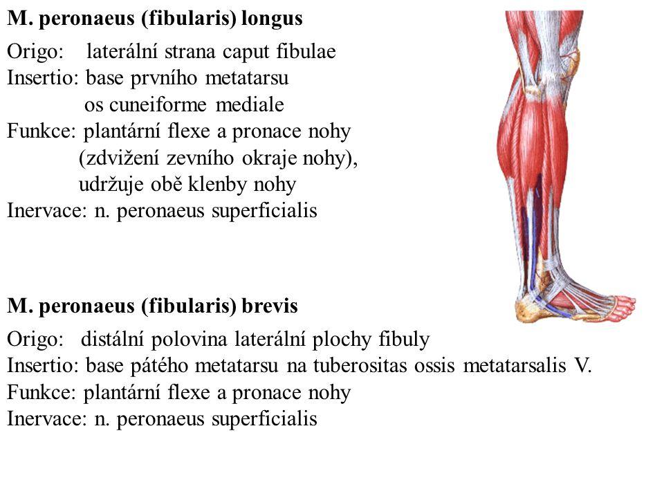 Origo: laterální strana caput fibulae Insertio: base prvního metatarsu os cuneiforme mediale Funkce: plantární flexe a pronace nohy (zdvižení zevního okraje nohy), udržuje obě klenby nohy Inervace: n.