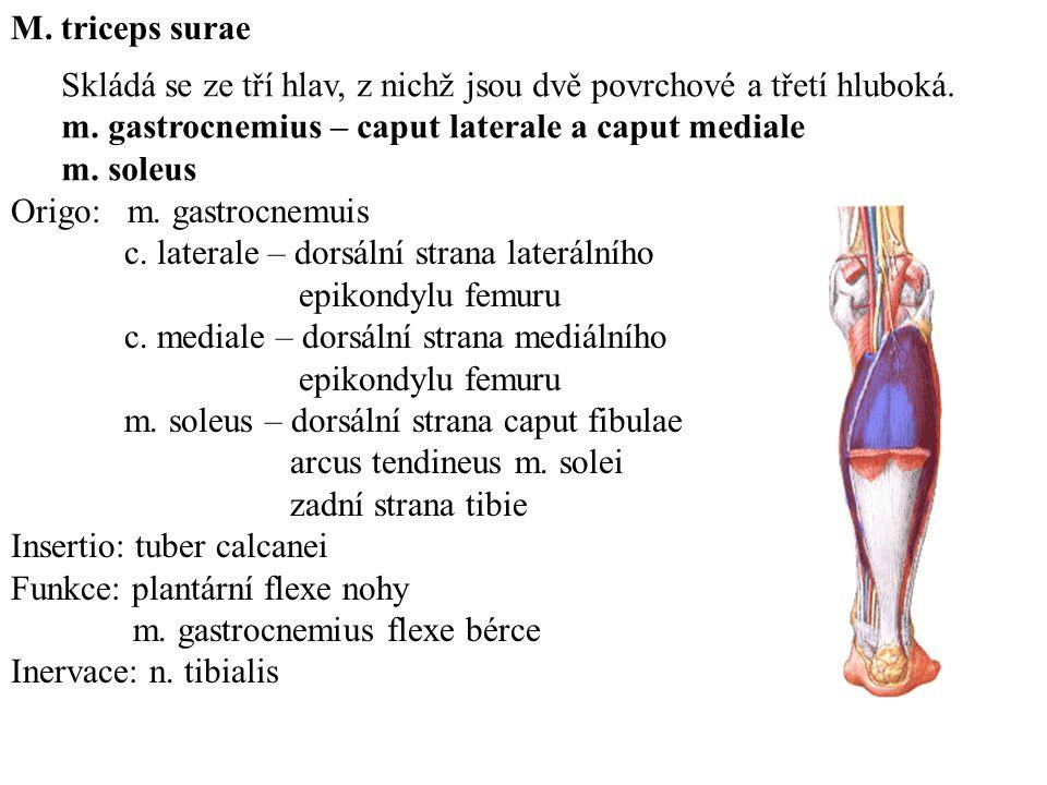 Origo: m.gastrocnemuis c. laterale – dorsální strana laterálního epikondylu femuru c.