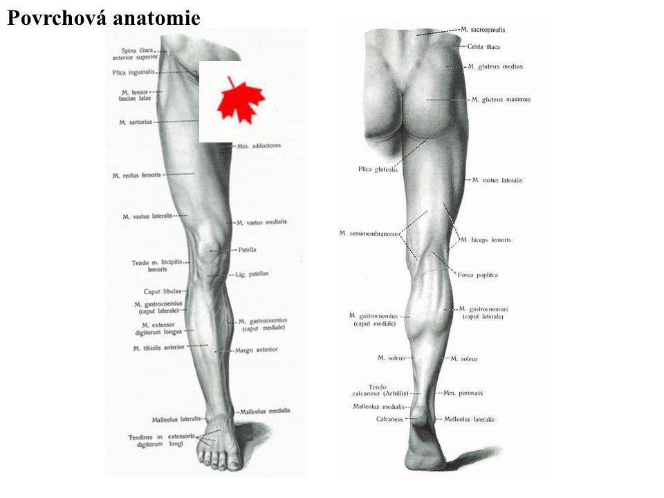 Fascie dolní končetiny: fascie kyčelních a stehenních svalů fascie bérce fascie nohy Fascia glutaea – připojená na okraj os sacrum a crista iliaca, pokrývá hýžďové svaly, kaudálně přechází na stehno do fascia lata femoris Fascia lata femoris - pokrývá především stehenní svaly, začíná se na lig.