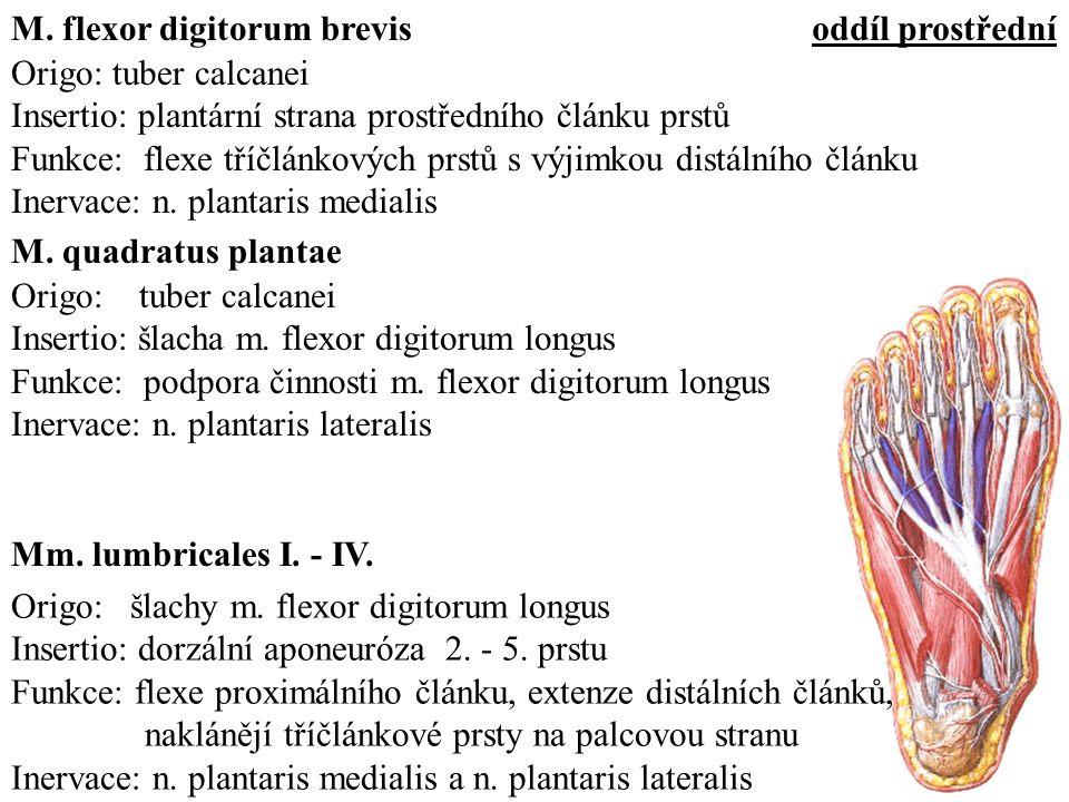 Origo: tuber calcanei Insertio: plantární strana prostředního článku prstů Funkce: flexe tříčlánkových prstů s výjimkou distálního článku Inervace: n.