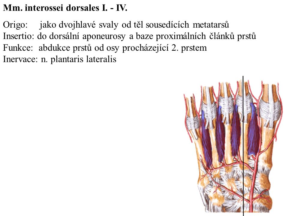 Origo: jako dvojhlavé svaly od těl sousedících metatarsů Insertio: do dorsální aponeurosy a baze proximálních článků prstů Funkce: abdukce prstů od osy procházející 2.
