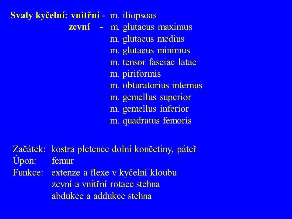 Svaly kyčelní: vnitřní - m.iliopsoas zevní - m. glutaeus maximus m.
