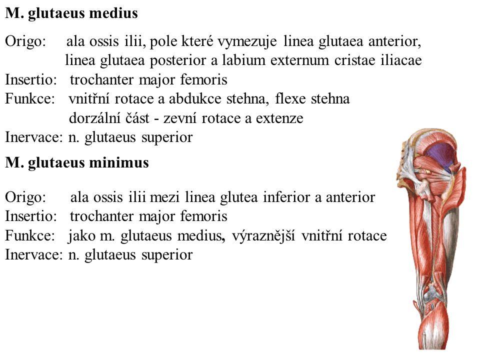 Origo: os pubis v sousedství symfysy Insertio: pes anserinus Funkce: addukce stehna, pomocná flexe v kolením kloubu Inervace: ramus anterior n.