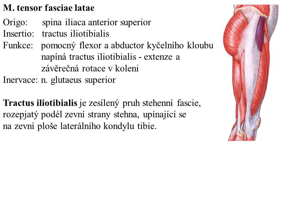 Origo: ramus ossis pubis Insertio: linea aspera femoris Funkce: addukce, flexe, zevní rotace stehna Inervace: ramus anterior n.