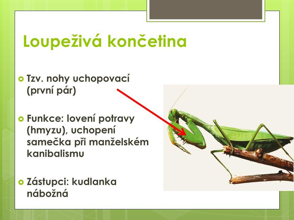 Loupeživá končetina  Tzv. nohy uchopovací (první pár)  Funkce: lovení potravy (hmyzu), uchopení samečka při manželském kanibalismu  Zástupci: kudla