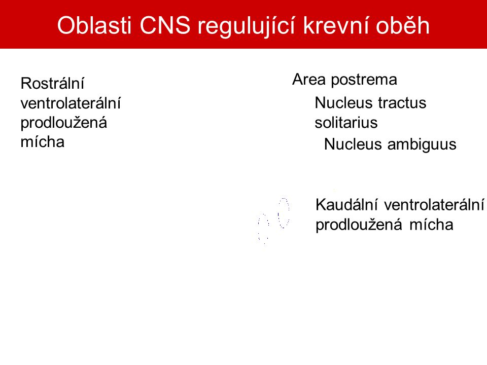 Oblasti CNS regulující krevní oběh Area postrema Nucleus tractus solitarius Nucleus ambiguus Rostrální ventrolaterální prodloužená mícha Kaudální vent