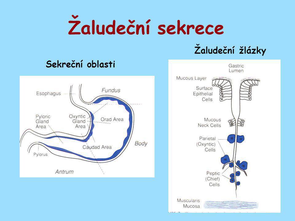 Žaludeční sekrece Sekreční oblasti Žaludeční žlázky