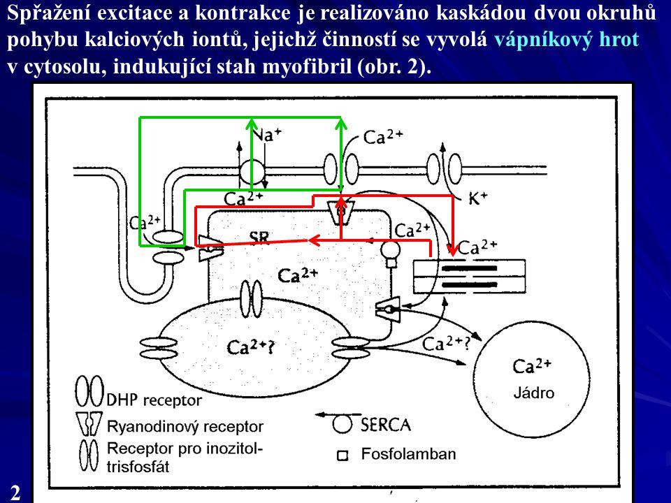 2 Spřažení excitace a kontrakce je realizováno kaskádou dvou okruhů pohybu kalciových iontů, jejichž činností se vyvolá vápníkový hrot v cytosolu, indukující stah myofibril (obr.