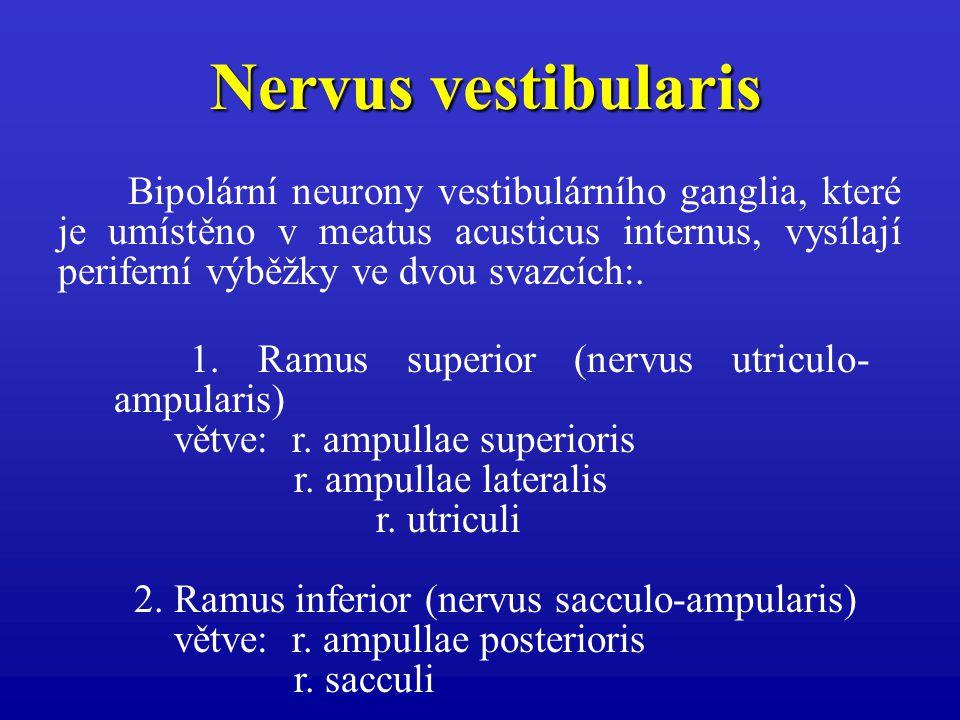 1. Ramus superior (nervus utriculo- ampularis) větve: r. ampullae superioris r. ampullae lateralis r. utriculi 2. Ramus inferior (nervus sacculo-ampul